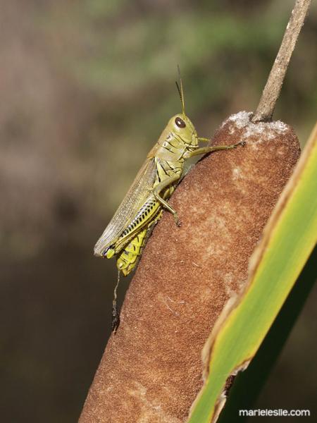 grasshopper, cattail, reed, green