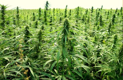 Marijuana Stocks Heading Into Elections - Marijuana Stocks | Cannabis Investments and News ...