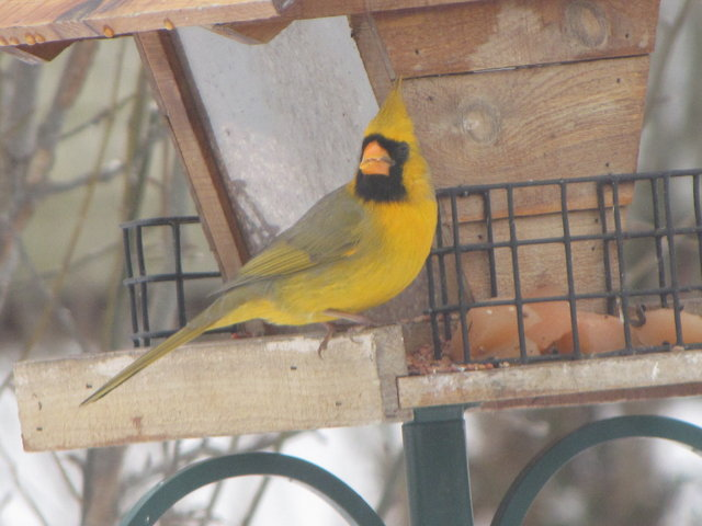 Yellow cardinals