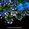 紫陽花 2015
