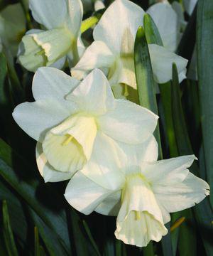 Division 7 Jonquilla daffodil - Curlew