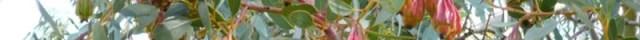 Eucalyptol terpene marijuana