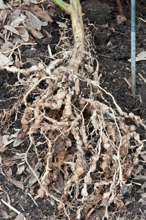 Nematodes can decimate a tomato's root system.  Photo By Bruce Leander