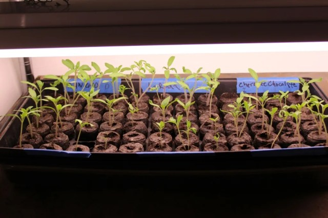 My tomato seedlings under the expensive grow lights that apparently weren't worth what I spent on them