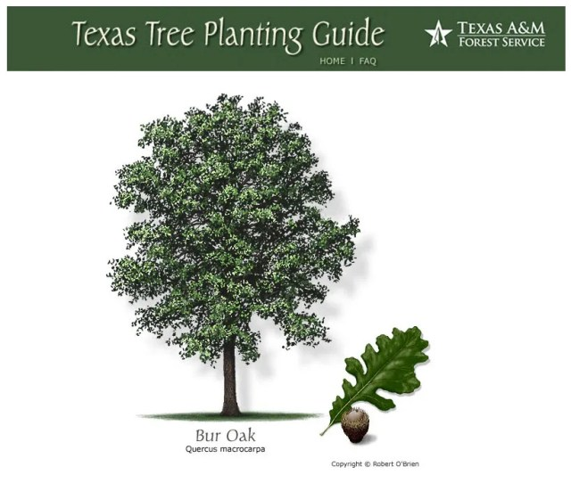 Image from the Texas A&M Tree Selector website at http://texastreeplanting.tamu.edu/Display_Onetree.aspx?tid=80