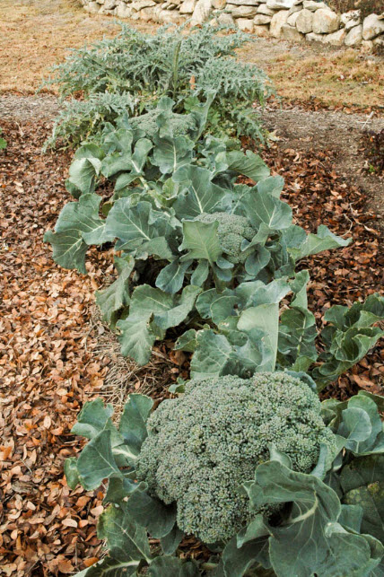 It takes a big, healthy plant to grow a big delicious head of broccoli