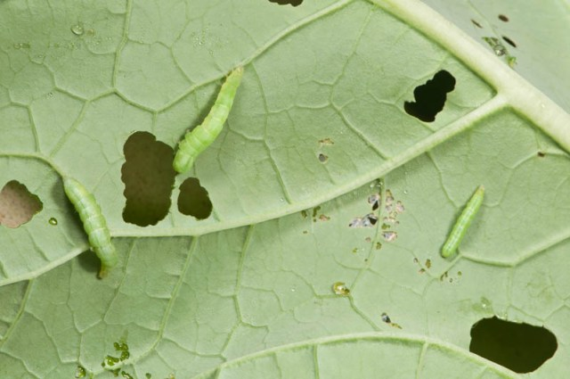 Exclude the moths that lay caterpillar eggs by covering plants with floating row cover; alternatively handpick the worms if you don't have many plants or try regular application of  Bt insecticide.