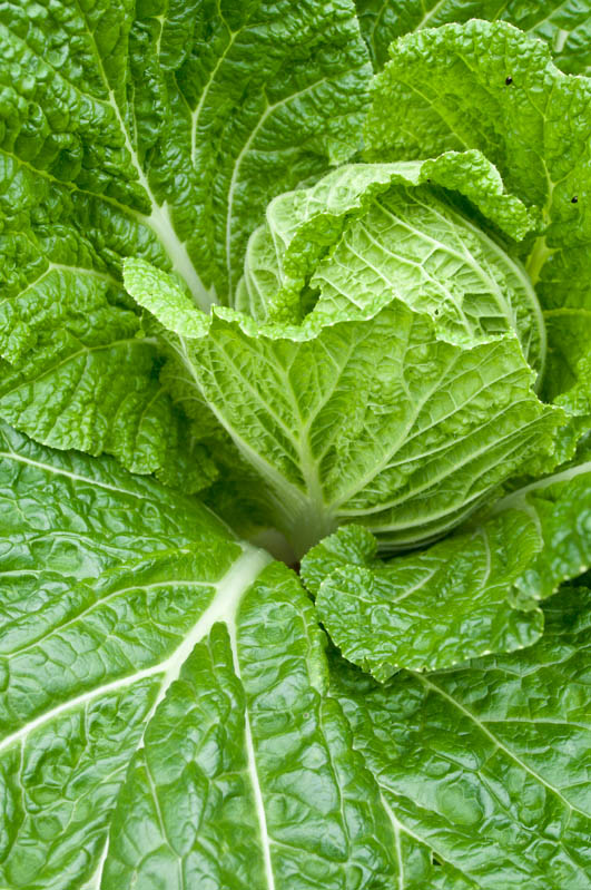 'Alcosa' savoy cabbage