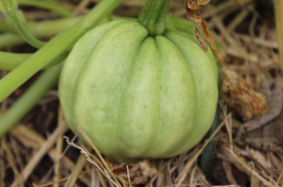 A lovely little acorn squash that I grew vertically last year