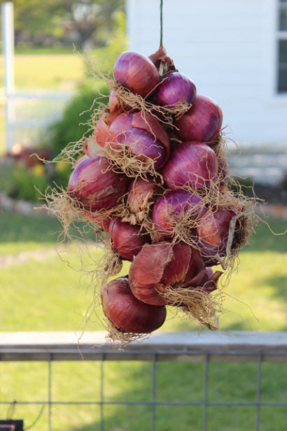 "Red short day onions like ""Belle Red"" and hotter and keep better than the sweeter yellow and white short day varieties"