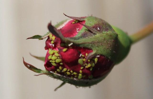 aphid-rose-3