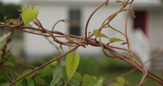 bindweed-vines-1