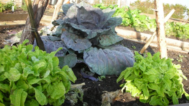 Lettuce is plagued by a variety of pests.  Once your plants are established begin to watch for bug damage or signs of disease
