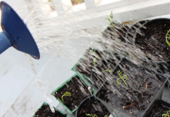 tomato-seedlings-1