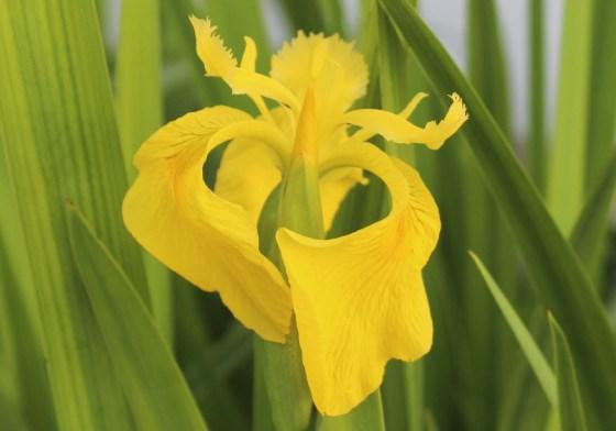 yellow-iris