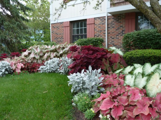 Caladiums are great plants for the shadier parts of your yard.  Photo used with permission from Classic Caladiums