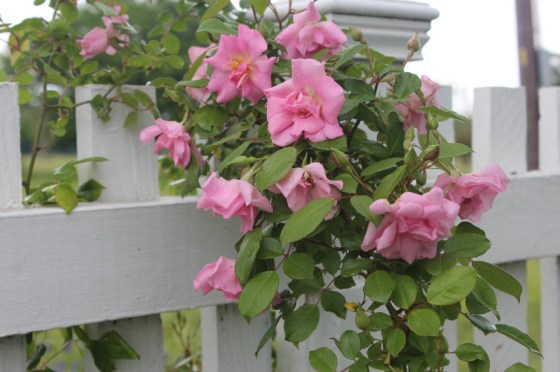 Prune your climbing roses after they finish blooming