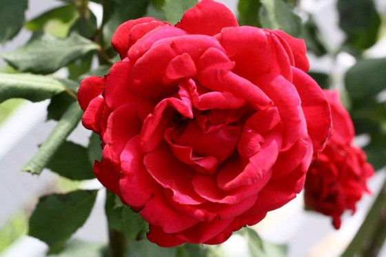 "My ""Crimson Glory"" roses are putting on their fall show.  Feed your roses now with high phosphorus fertilizers"