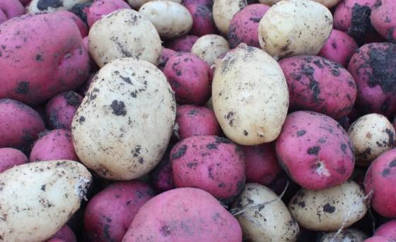 fall-potatoes