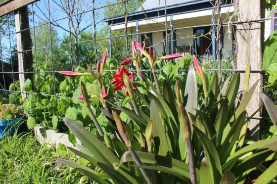 A clump of Hardy Amaryllis in that Eli divides and sells at his annual plant sale