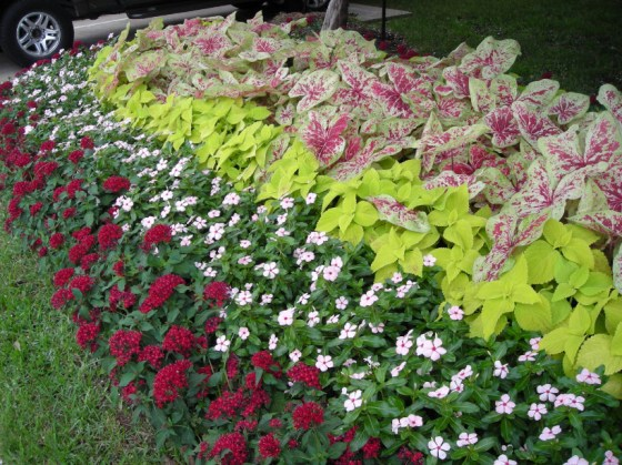 Mixed-Caladium-Border-3