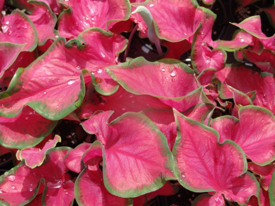 Sangria-Leaves-Caladium