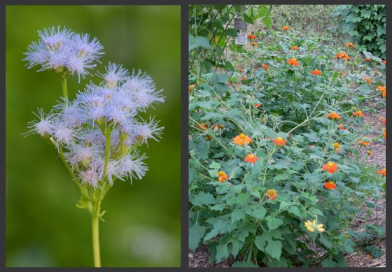 mistflower-tithonias