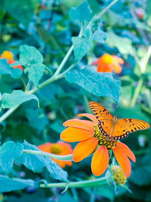 tithonia-mexican-sunflower