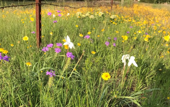 Texas-Wildflowers-1
