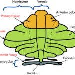 Parts of Cerebellum and their functions.