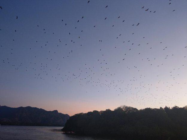 科莫多世界自然遺產-KALONG ISLAND蝙蝠大遷徙