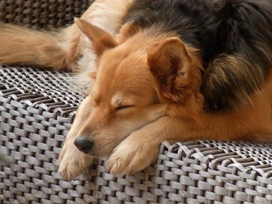 寝そべる犬
