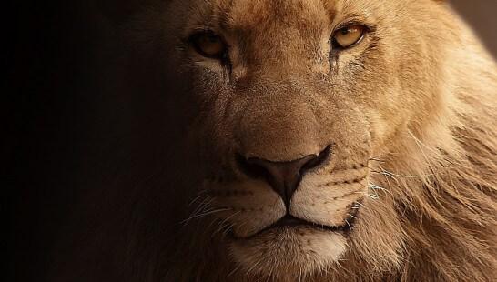ライオンのアップ