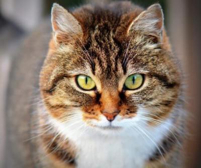 前を凝視する猫