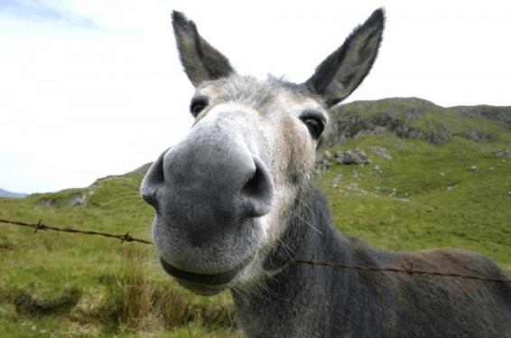 Donkey_Jackass_Mule