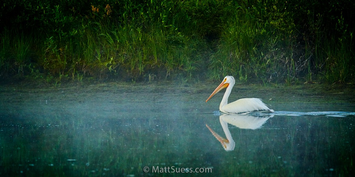 White Pelican in Fog on the Snake River at the Tetons