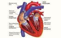 Работа сердца и сосудов, фазы сердечного цикла (Часть 1).