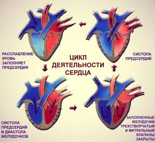 Цикл работы сердца.