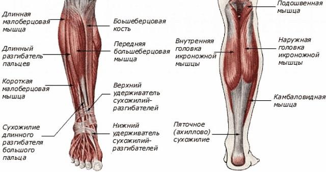 Мышцы голени.