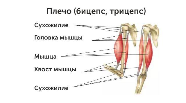 Мышцы плеча1