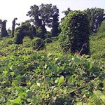 The Amazing Story of Kudzu