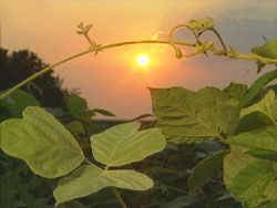 Sunset over kudzu