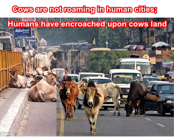 Reasons why Cows are entitled to roam on Indian roads