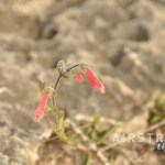Seminole Canyon wildflowers-1