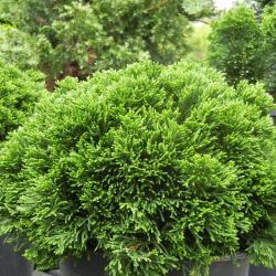 Small Of Dwarf Hinoki Cypress