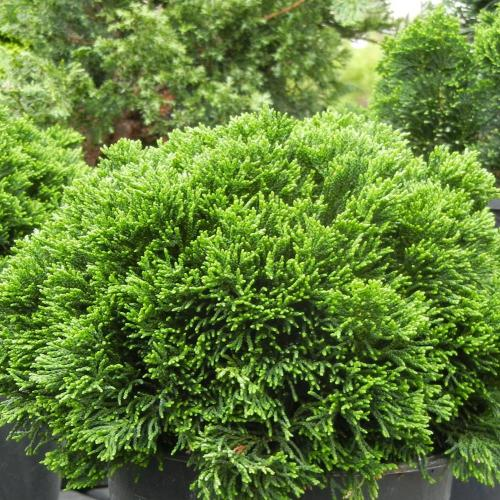 Medium Crop Of Dwarf Hinoki Cypress