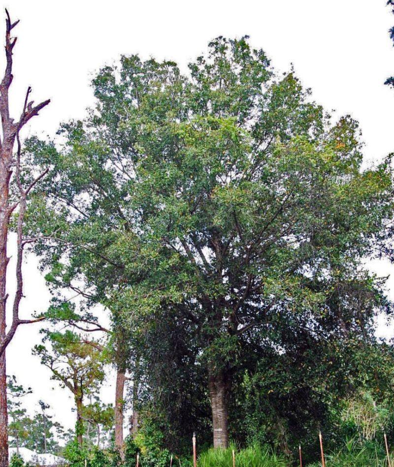 Large Of Laurel Oak Tree
