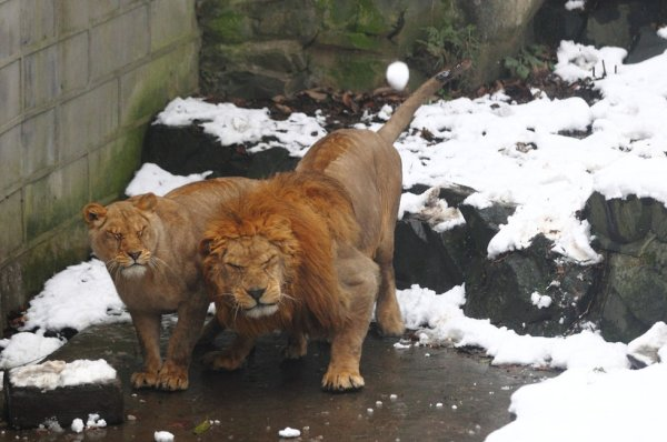 Tourists throw snowballs at Hangzhou Zoo lions