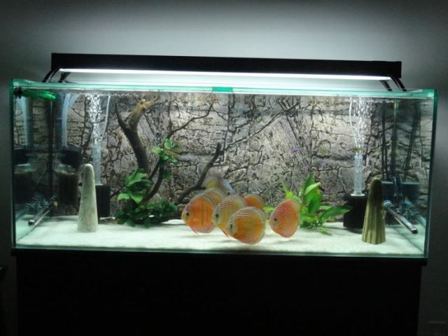 Pretty fishtank!    White Sand Discus.