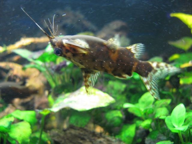 Upside Down Catfish | My Future Fishtank | Pinterest